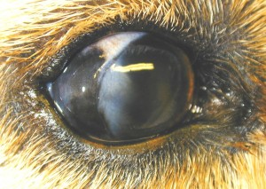 Limbal melanom in the dog