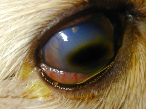 Corneal sequestrum in a cat