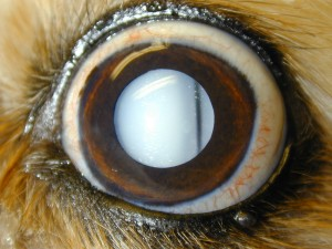 Dense resorbing cataract in a dog