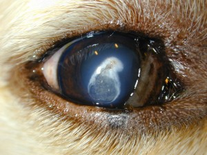 Corneal degeneration: note the blood vessels to the mineral