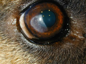 Cornea dystrophy in a 3 year old German Shepherd
