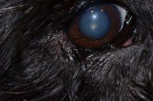 Lower lid entropion in a large dog. Note discharge and hair on cornea.
