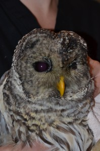 Barred owl with traumatic eye injury