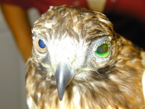 Hawk with trauma to left eye