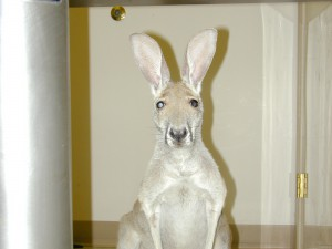 Kangaroo with cataracts