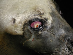 Corneal degeneration in a seal
