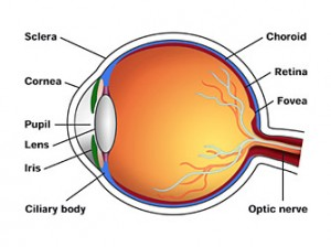 Cross section of the human eye. The cornea is on the left.