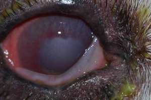 Extensive corneal inflammation with associated edema