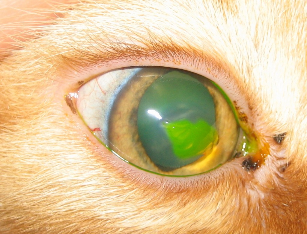 Superficial corneal erosion in a cat